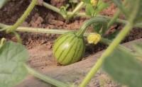 西瓜人工辅助授粉的几个步骤